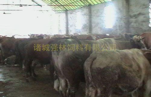母牛育肥76天后效果