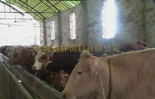 母牛育肥76天后效果3
