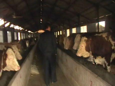 日照肉牛养殖基地