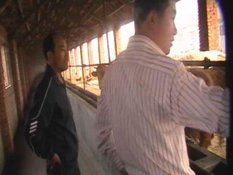 五连肉牛养殖基地