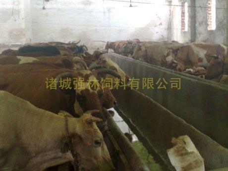 新购育肥母牛