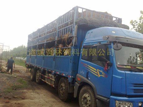 新购育肥母牛1