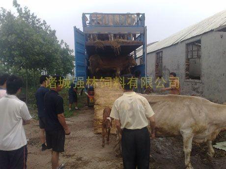 新购育肥母牛2