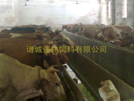 新进的育肥老母牛