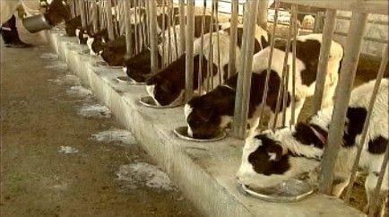 伊利公司犊牛在食用犊牛代乳粉
